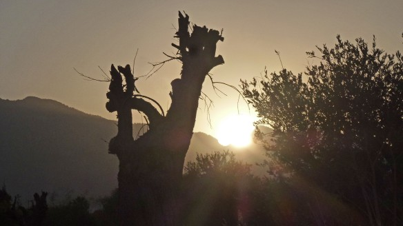 Sun & Olive Tree